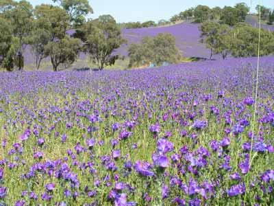 Barossa Valley Lavender Farm