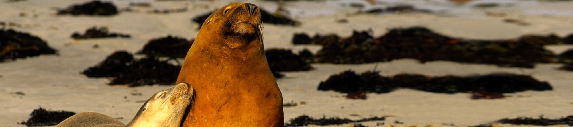 Australian Fur Seals cuddling and catching some sun at Kangaroo Island