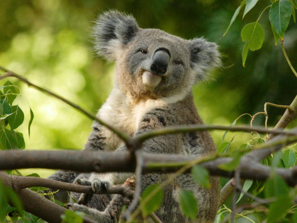 Koala Walk Kangaroo Island