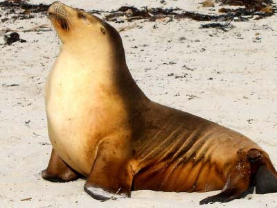 Large Fur Seal - Kangaroo Island
