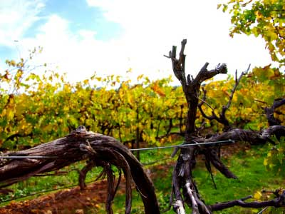McLaren Vale vineyards