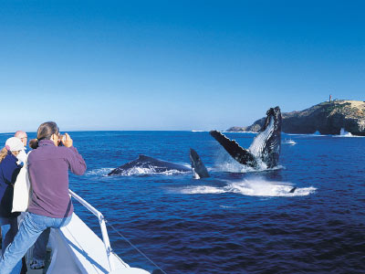 Whale Watching off Moreton Island