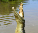 crocodile jumping straight up out of water