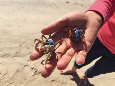 Crabbing, catching crabs on beach, gold coast
