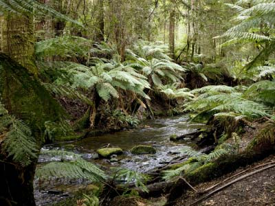 River running through forest ferns at otway national park