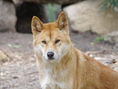 Dingo at Healesville Sanctuary