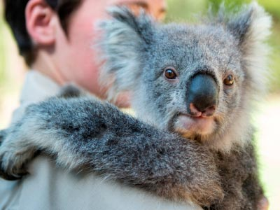 Healesville keeper with Koala