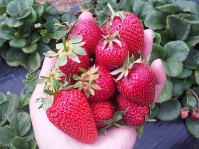 Freshly picked strawberries - Mornington Peninsula Tour