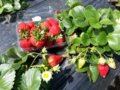 Pick your own strawberries at Sunny Ridge Strawberry Farm