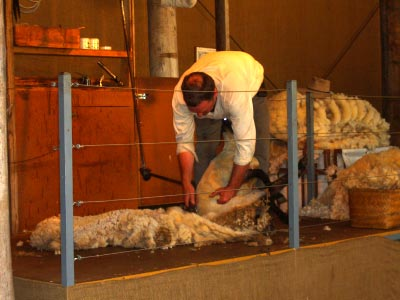 Sheep shearing at Churchill Island