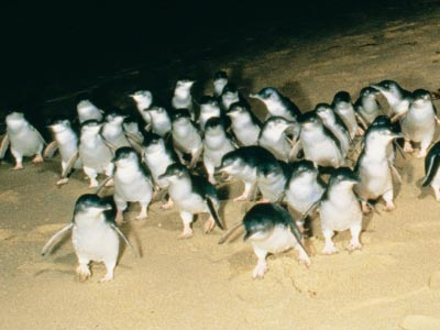 Penguins arriving on Summerland Beach