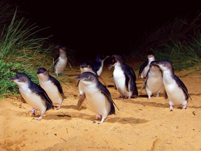 Little Penguins at Penguin Parade on Phillip Island