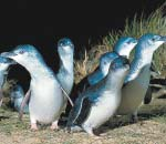 Penguins waddling back to their nests from the sea at the Phillip Island penguin parade