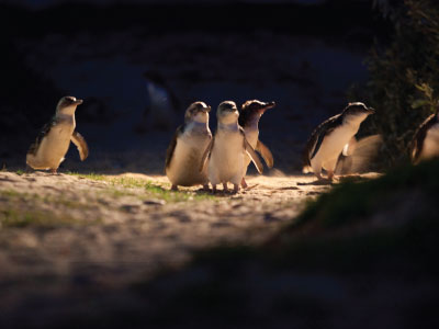 The Penguin Parade, Phillip Island