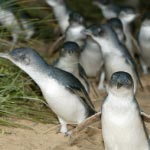 The Penguin Parade at Phillip Island