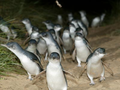 Penguin arrival at the Penguin Parade