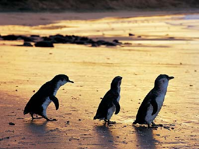 Dusk at the Penguin Parade