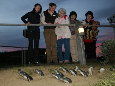 Viewing Penguins from the Penguin Parade boardwalk