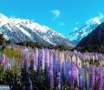 Christchurch tour, lupins and snow capped mountains