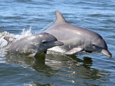 mandurah dolphin cruise tour, Indo-Pacific Bottlenose Dolphins