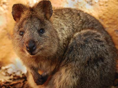Native quokka