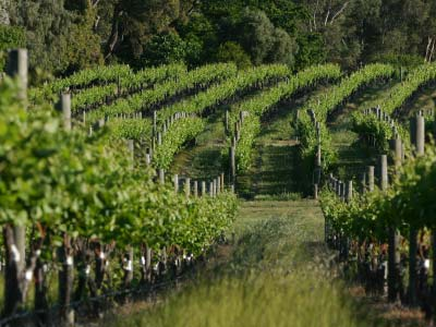 Sandalford Winery Vineyard, Swan Valley, Western Australia