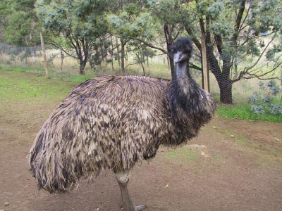 Emu at Bonorong Sanctuary