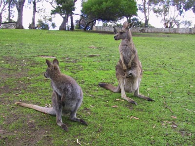 Kangaroos at Bonorong