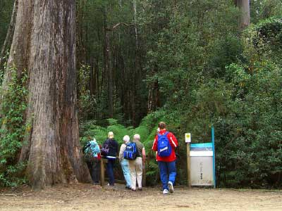 Towering trees at Mt Field National Park